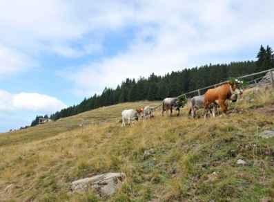 La desmalgada Bedollo Trentino