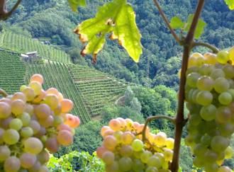 Terraced vineyards - G3